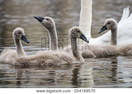 Four mute swan cygnets swimming alongside a parent bird