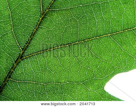 Green Oaks Leaf