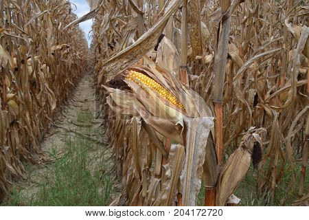 Dried field corn on the stalk in north Mississippi.