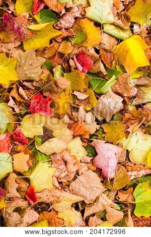 Background with maple autumn leaves in autumn park. Outdoor autumn concept