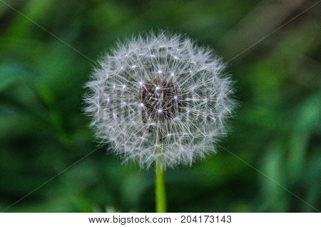 Round dandelion on a green background. clouse-up