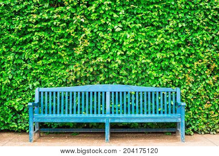Blue bench against green leaf hedge, foliage background
