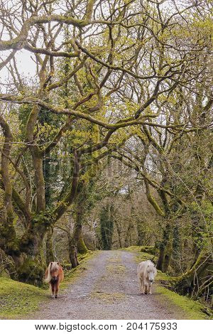 Two Dartmoor ponies following me down the trail on a Spring morning.