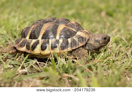 Adult Turtle On The Lawn In The Leaves Of The Clover Walking And Posing On The Camera