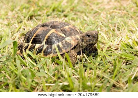 a turtle in green grass moves slowly