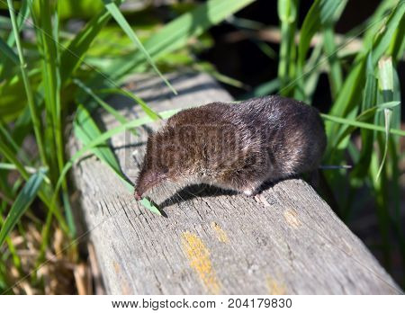 shrew on surfacessmall animal, mammal rodent , close up