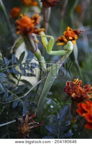 green mantis on the Bush of flowers in garden