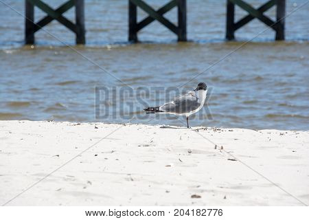 A seagull on a Gulf of Mexico beach.