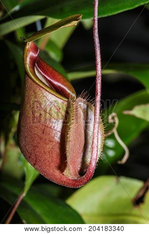 The Insectivorous plants Nepenthes Ampullaria close up