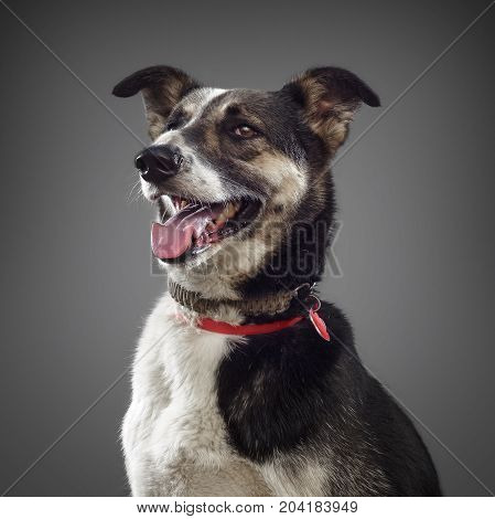 cute funny dog is the symbol of 2018, stuck out his tongue and smiles, posing on grey background.