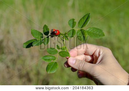 Photo of a hand holding a rosehip in the wild on a sunny autumn day