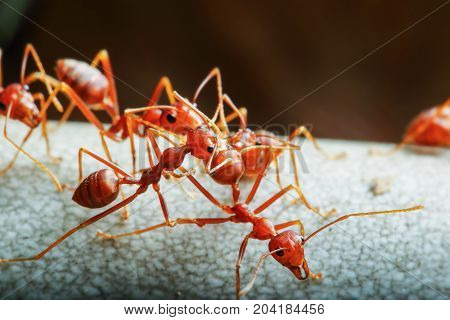 Red ant and teamwork walk on a tree