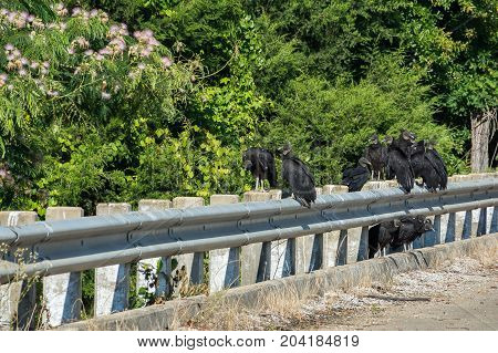 Black vultures perched on a bridge rail.