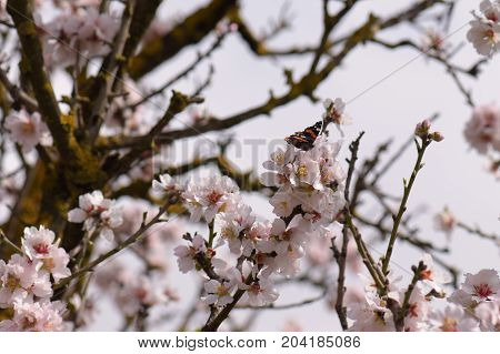 Butterfly on almond tree branch with blooming flowers. Springtime nature.