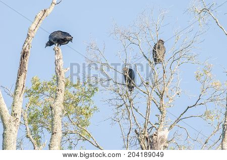 Black vultures perched in a dead tree.