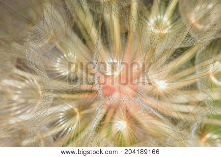 Dandelion seeds macro abstract blur. Transparent leaves and plant veins natural background.