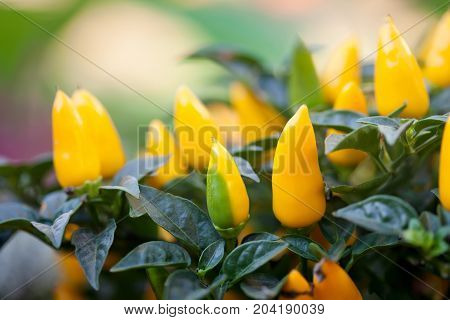 Ripen yellow peppers plant. Beautiful colorful decorative green leaf vegetables selective focus photography. Shallow depth of field.