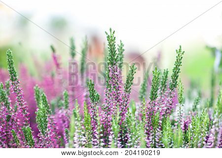 Heather flowers meadow landscape. Blooming small violet petal plants. Selective focus, shallow depth of field photography.