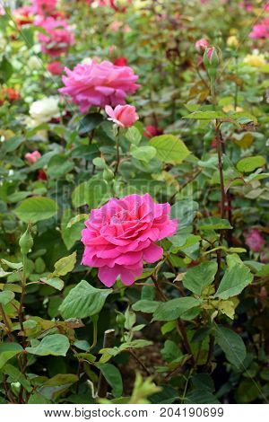 Roses with pink flowers and buds. Springtime nature background.