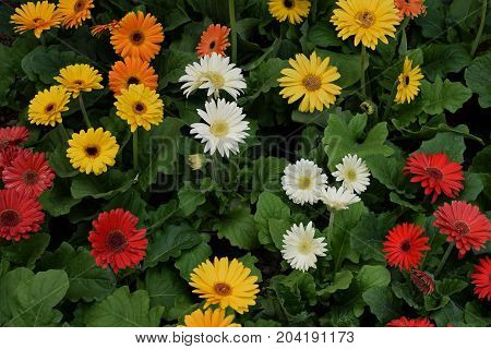 Gerbera flowers in bloom. Colorful springtime nature background.