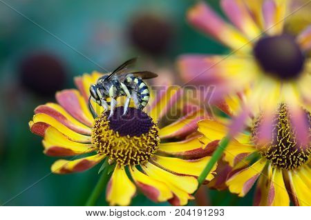 Giant striped wasp chrysanthemum flower. Macro view insect searching honey nectar. Shallow depth of field, selective focus photo.