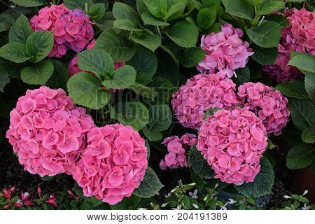 Hydrangea hortensia plant with pink flowers. Spring nature background.