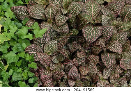 Fittonia albivenis nerve plant painted net leaf with pink veins pattern and green ivy. Groundcover foliage nature background.