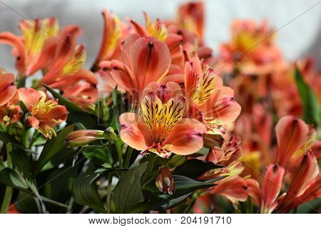 Alstroemeria peruvian lily flowering plant in bloom. Springtime nature background.