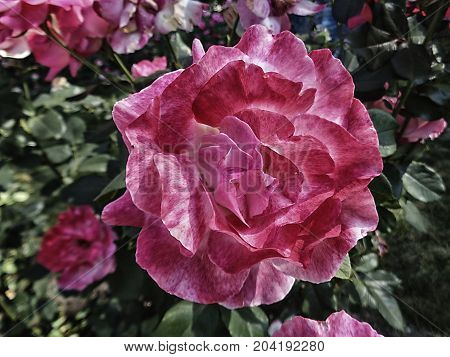 Pink rose.Abstract image of pink rose. Garden rose. Floral background. Pink rose. Rose background. Rose.
