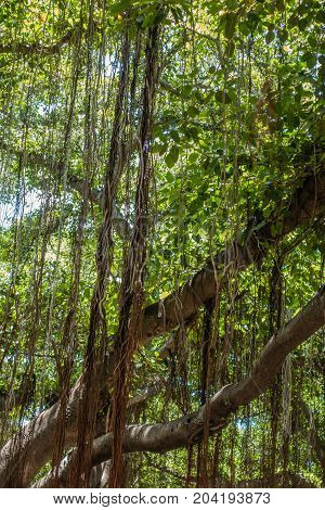 Closeup shot a the Banyan tree in Lahaina on Maui Hawaii.