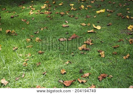 Dry Leaf Falling On Grass At Floor In Garden