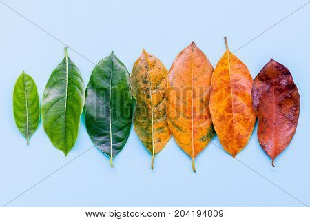 Leaves of different age of jack fruit tree on white wooden background. Ageing and seasonal concept colorful leaves blue flat lay and copy space.