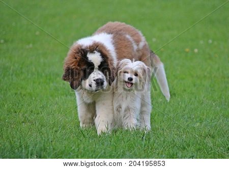 Funny Saint Bernard Puppy Is Standing In The Park With A Small Fiend
