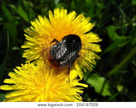 Brown bumblebee on dandelion closeup on background of green plants