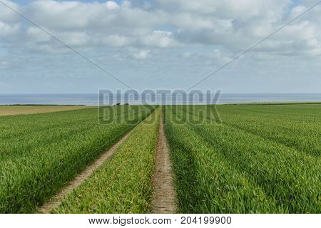 Green Wheat Field And Dirt Country Road On A Bright Sunny Day. Countryside Landscape, Agricultural F