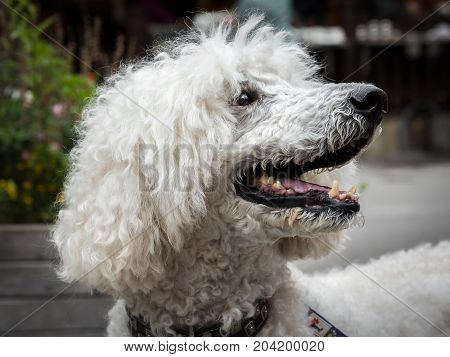 Portrait of a white royal poodle with an open mouth