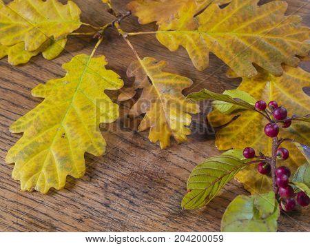Wet Autumn Yellow Oak Tree Leaves And Close Up Red Rowan Berry On Old Oak Wooden Desk Natural Backgr