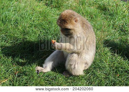Funny monkey - Givskud zoo safari - Jylland, Denmark