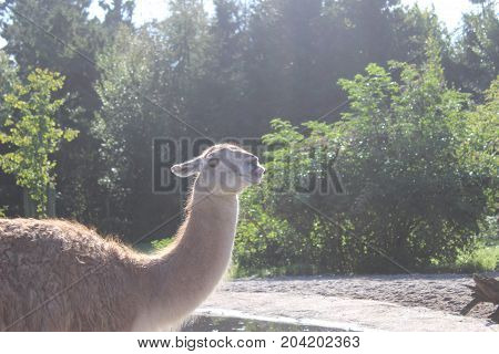 fun Lama - Givskud Zoo, safari - Denmark, Jylland