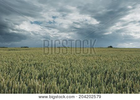 Green Wheat Fields On A Cloudy Day. Picturesque Dramatic Sky. Countryside Landscape, Agricultural Fi