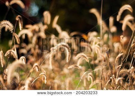 The golden grass seed heads are illuminated by the sunlight of a fall afternoon.