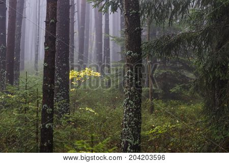 Mysterious, Dark and Foggy Pine forest with Yellow Leaves