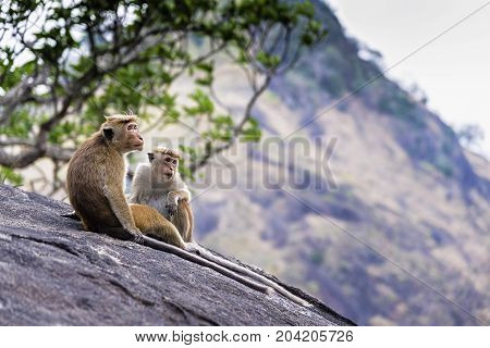 A couple of tonque macaque sitting on a rock, Sri Lanka. The toque macaque is a reddish-brown-coloured Old World monkey endemic to Sri Lanka, where it is known as the rilewa or rilawa