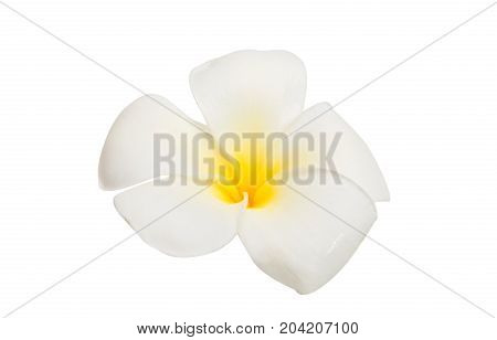 frangipani flower hawaiian  blossom isolated white background
