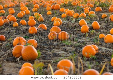 Beautiful pumpkin field in Germany Europe. Halloween pumpkins on farm. Pumpkin patch on a sunny autumn morning during Thanksgiving time. Organic vegetable farming. Harvest season in October.