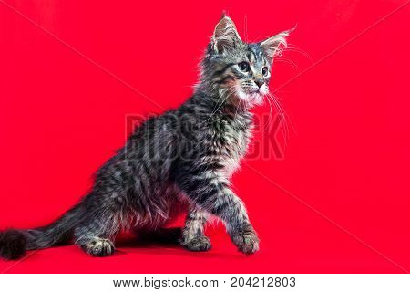 Fluffy kitten Maine Coon on a red background. Brushes on the ears and Fluffy tail. Nice little kitten.