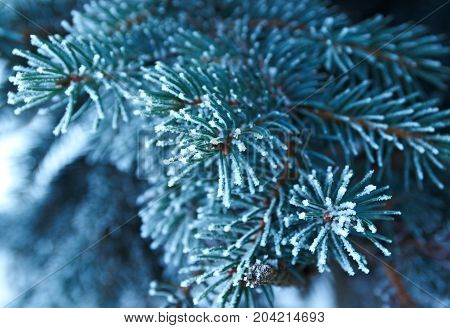 Winter Frost On Spruce Tree