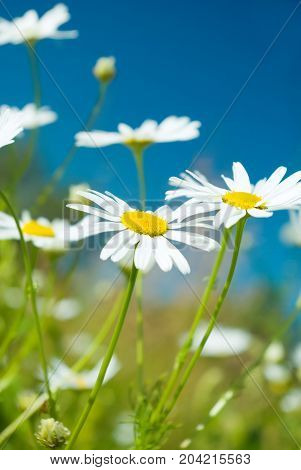 Camomile On Natural