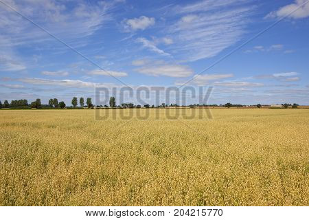 Yorkshire Oat Field
