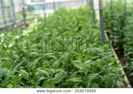 greenhouse full of lisianthus grandiflorum plants horticulture hothouse agriculture industrial farming
